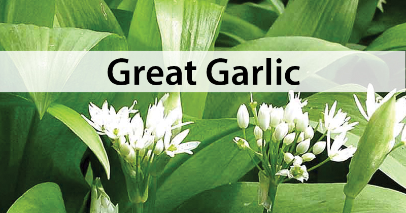 Great Garlic