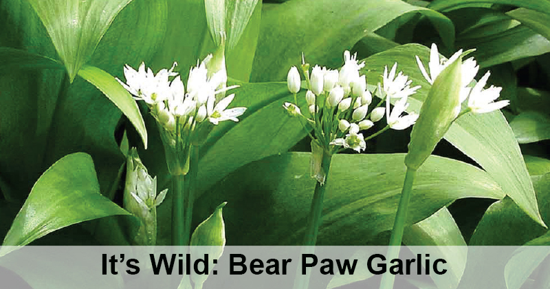 It's Wild: Bear Paw Garlic